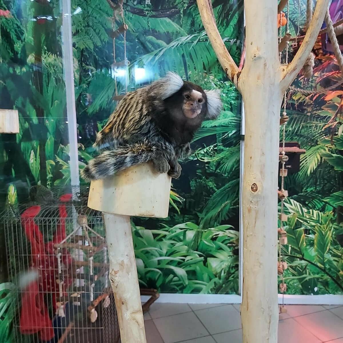 Белоухая игрунка - зоопарк в Днепре