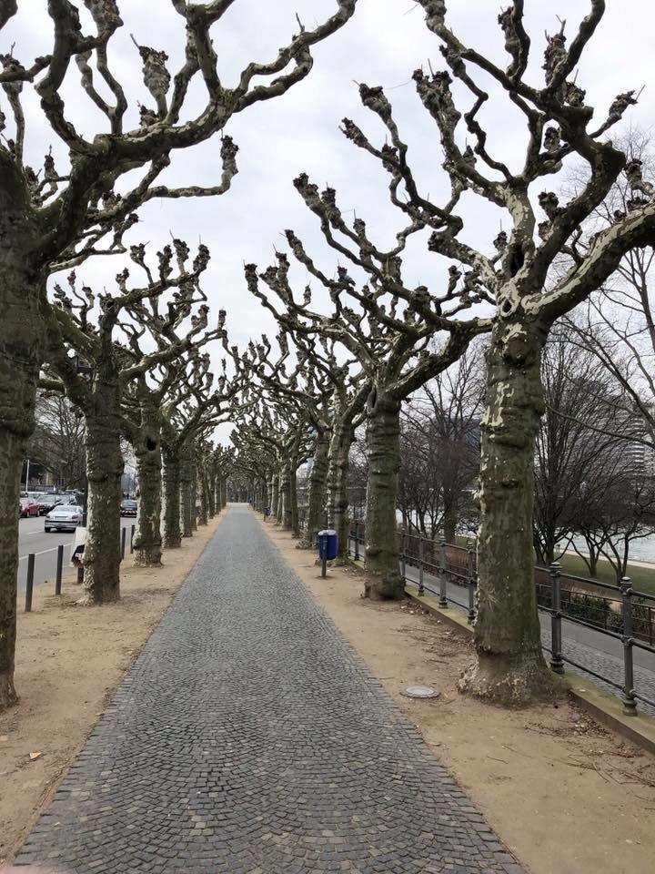 Центральные улицы Днепра засадят экзотическими деревьями (ФОТО), фото-5