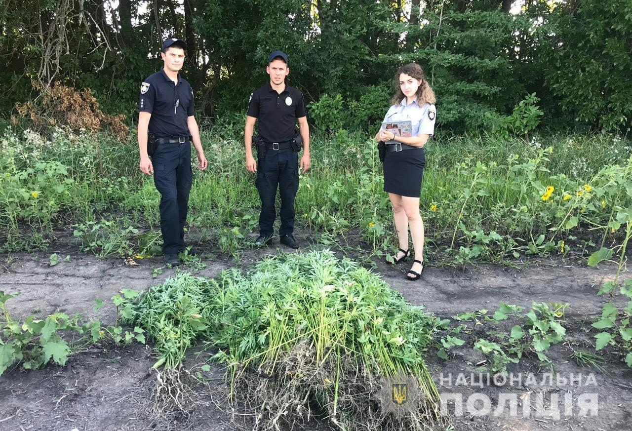 На Днепропетровщине среди подсолнухов нашли плантацию конопли, - ФОТО, фото-1