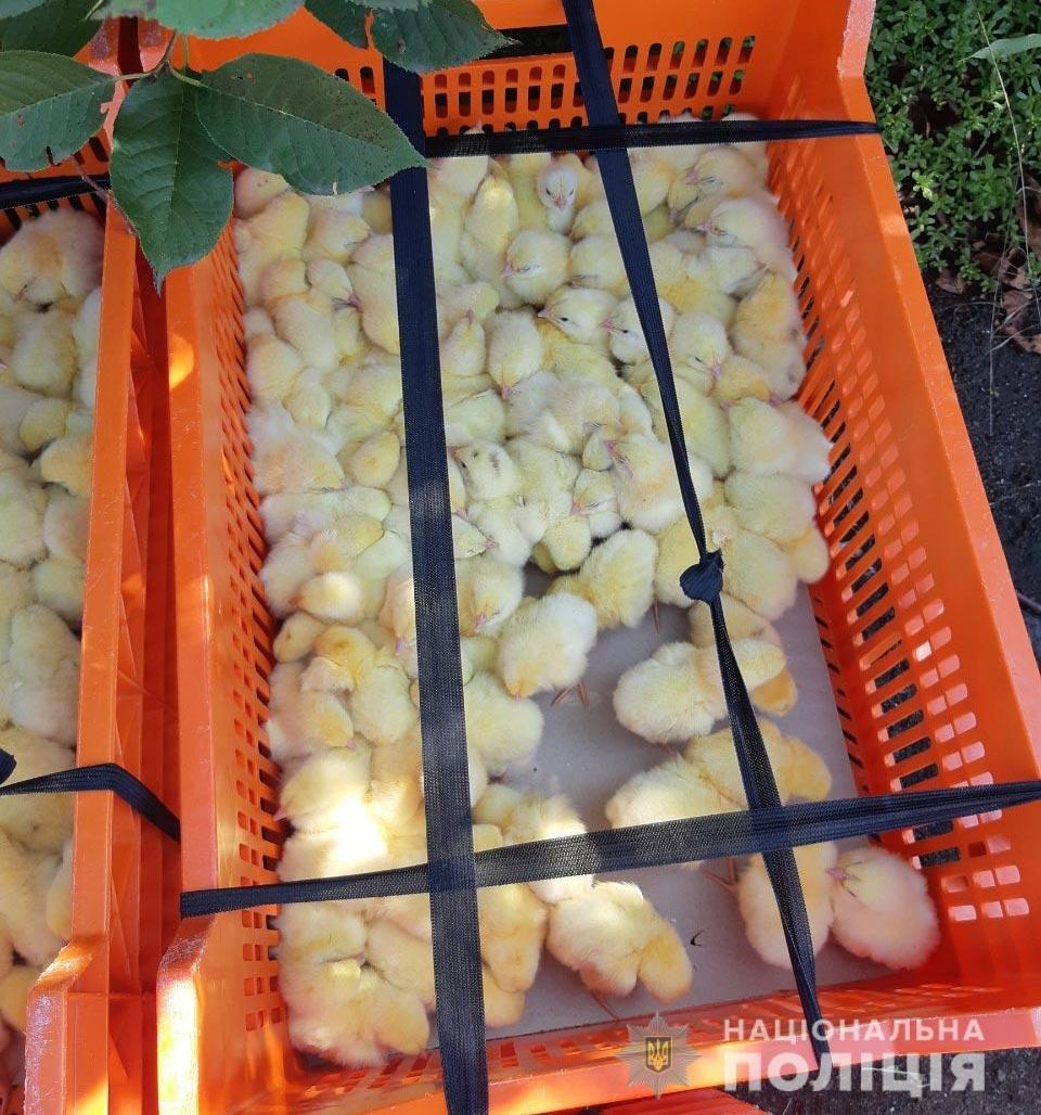 Перекидывали в ящиках через забор: на Днепропетровщине пытались украсть 400 цыплят, - ФОТО, фото-3