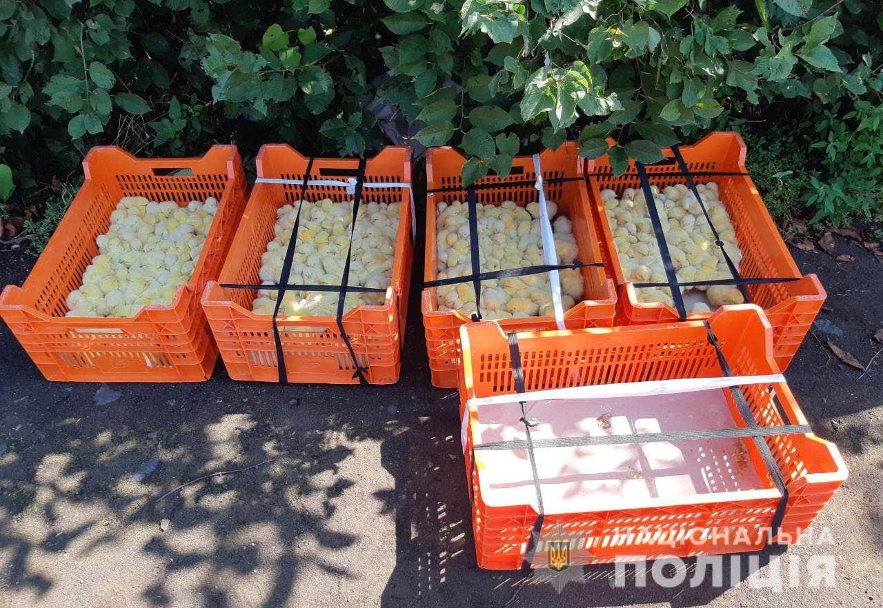 Перекидывали в ящиках через забор: на Днепропетровщине пытались украсть 400 цыплят, - ФОТО, фото-2