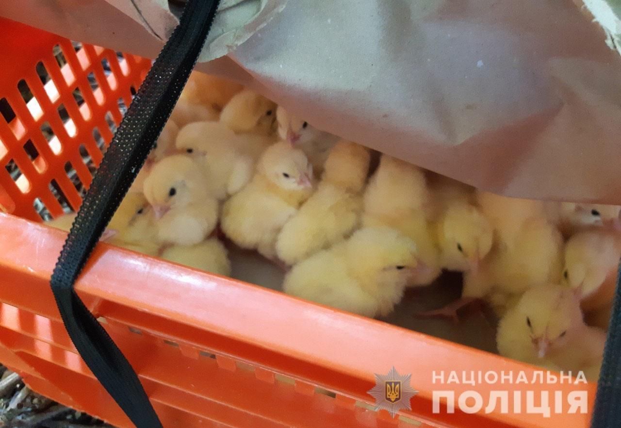 Перекидывали в ящиках через забор: на Днепропетровщине пытались украсть 400 цыплят, - ФОТО, фото-1