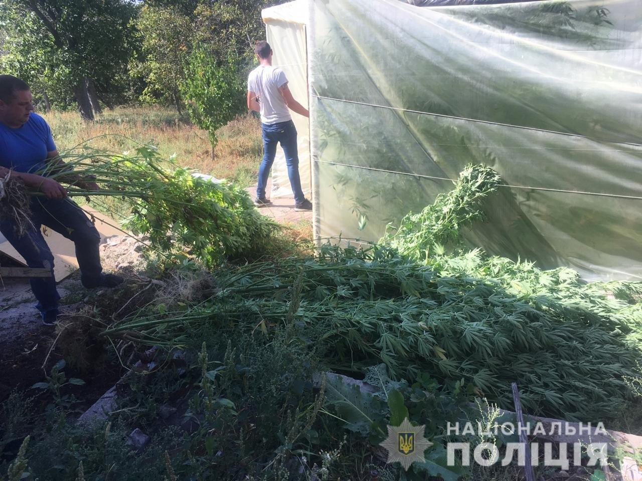 В Днепропетровской области растили трехметровую коноплю, - ФОТО, ВИДЕО, фото-2