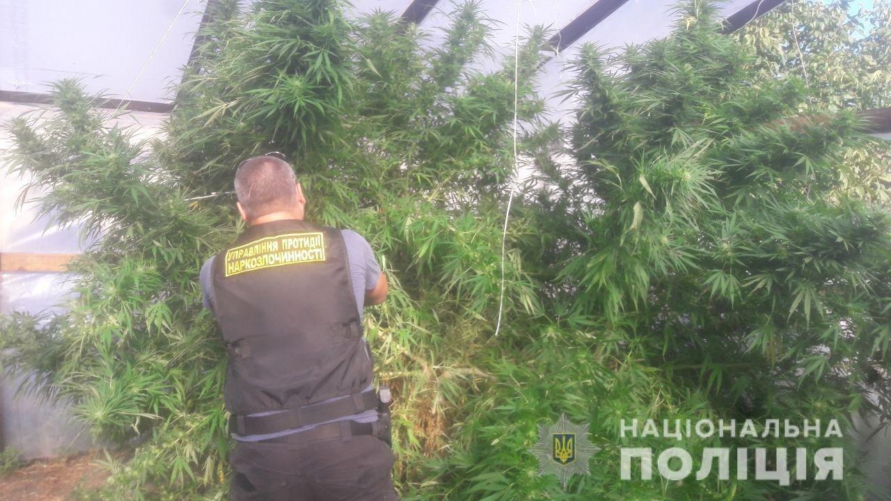 """На Днепропетровщине нашли """"марихуану"""" и кусты конопли на миллион гривен, - ФОТО, ВИДЕО, фото-1"""