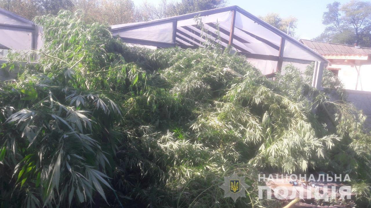 """На Днепропетровщине нашли """"марихуану"""" и кусты конопли на миллион гривен, - ФОТО, ВИДЕО, фото-2"""