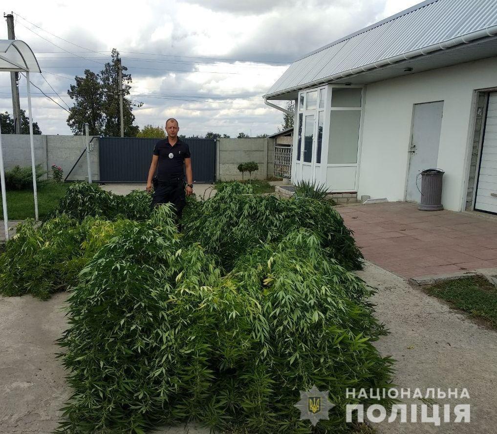 В Днепропетровской области обнаружили плантацию 5-метровой конопли, - ФОТО, ВИДЕО, фото-2