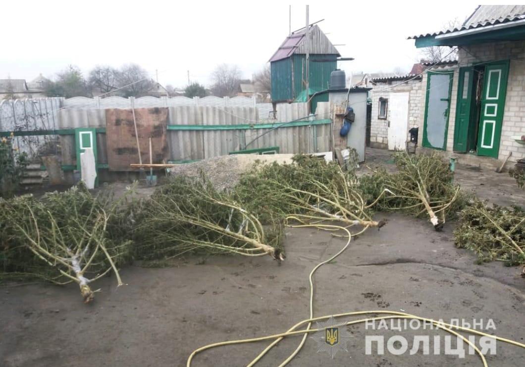 На Днепропетровщине выращивали коноплю высотой в человеческой рост, - ФОТО, фото-2