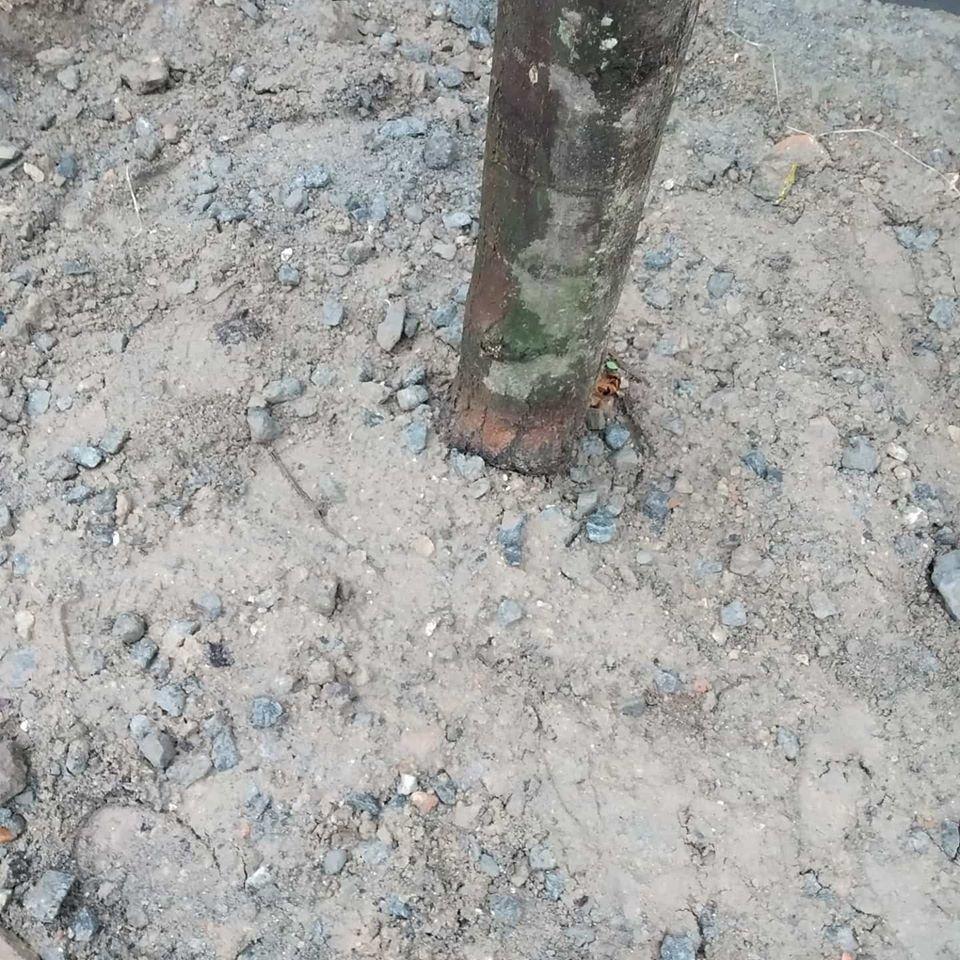 В Днепре на Троицкой деревья высаживают в бетон, фото-4