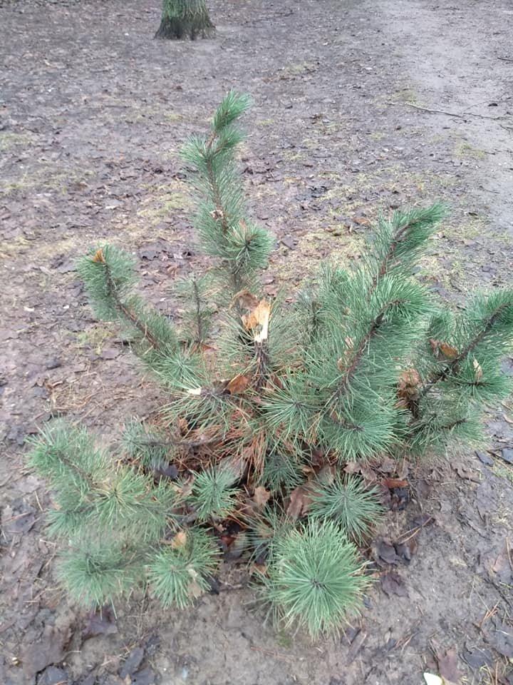 В канун праздников в Днепре неизвестные вырвали несколько елок на Тополе, - ФОТО, фото-1