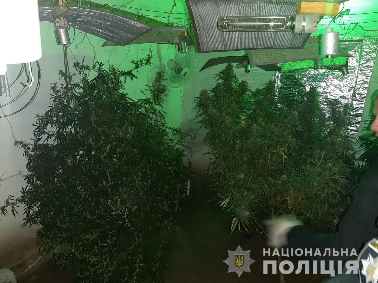В Днепропетровской области мужчина выращивал у себя дома в теплице 2-метровую коноплю, - ФОТО, ВИДЕО, фото-2