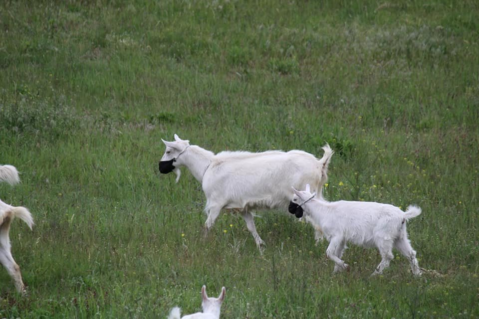 Посмеемся вместе: в Днепре заметили гуляющих в масках коз, - ФОТО, фото-2