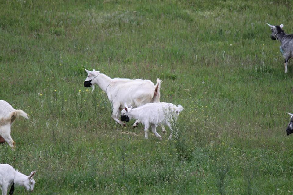 Посмеемся вместе: в Днепре заметили гуляющих в масках коз, - ФОТО, фото-3