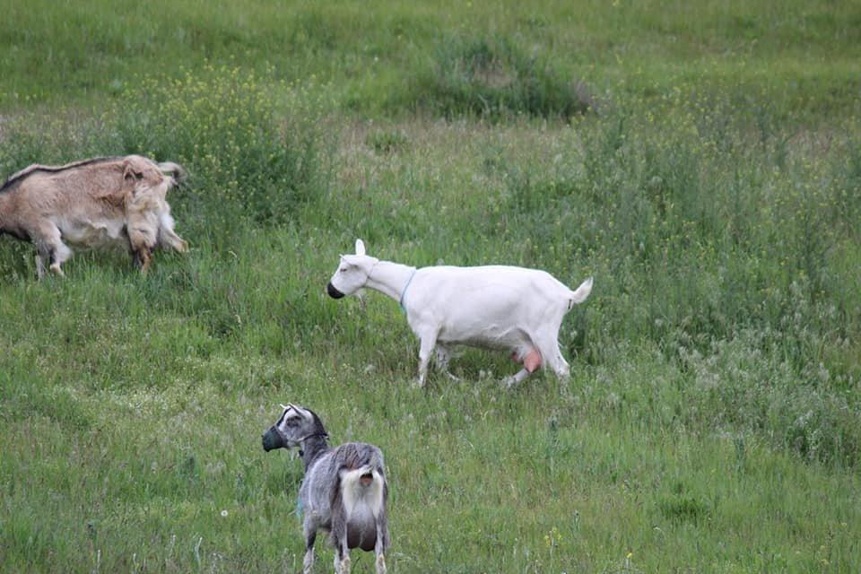 Посмеемся вместе: в Днепре заметили гуляющих в масках коз, - ФОТО, фото-4