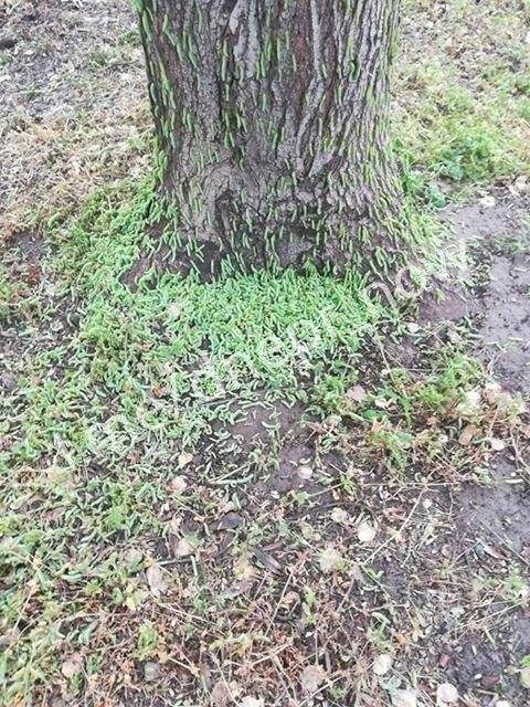 В одном из парков Днепра началось нашествие гусениц, - ФОТО, фото-3
