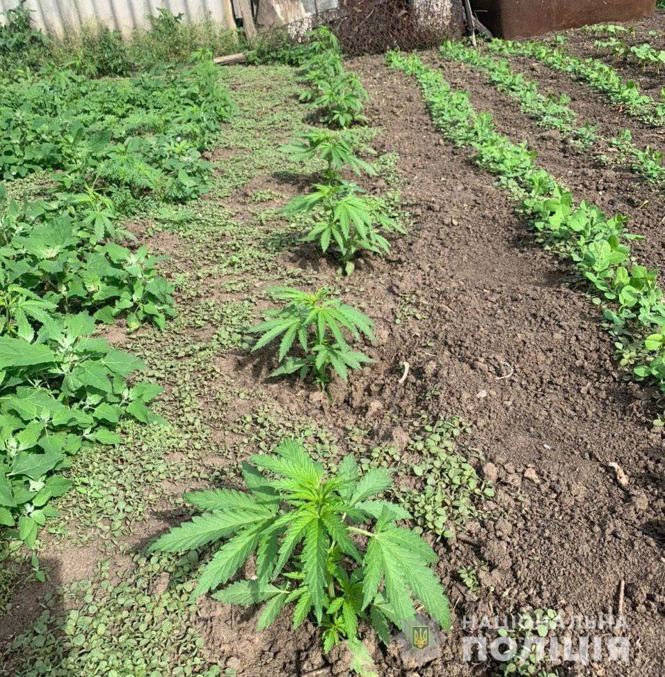 В Днепропетровской области мужчина выращивал на огороде более сотни кустов конопли, - ФОТО, фото-1