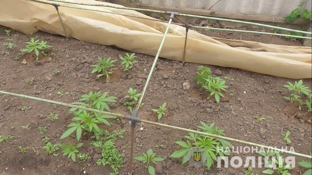 На Днепропетровщине мужчина выращивал в теплице более 30 кустов конопли, - ФОТО, фото-1
