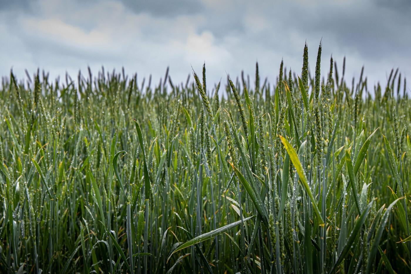 На Днепропетровщине растения пережили плохую погоду: 90% в удовлетворительном состоянии , фото-1