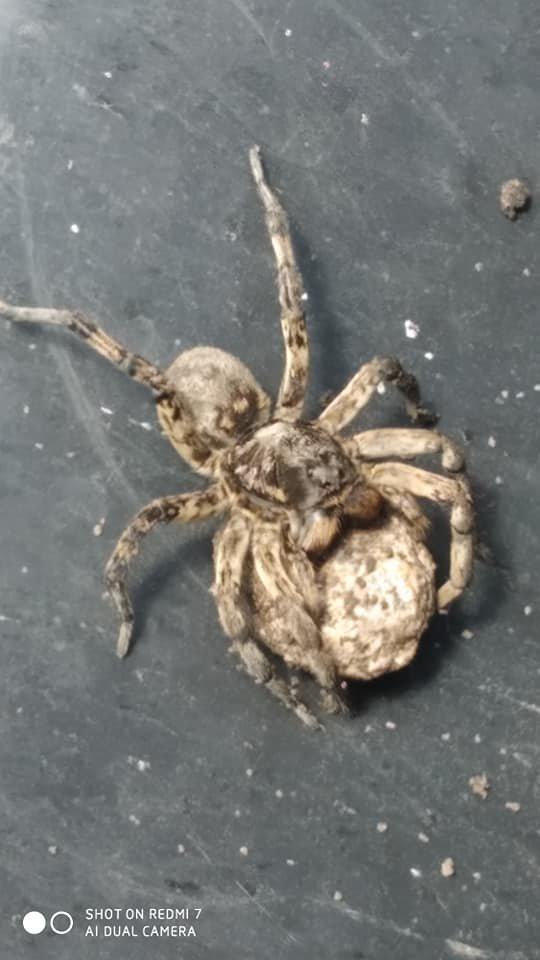 Ядовитые пауки селятся на приусадебных огородах Днепропетровщины , фото-2