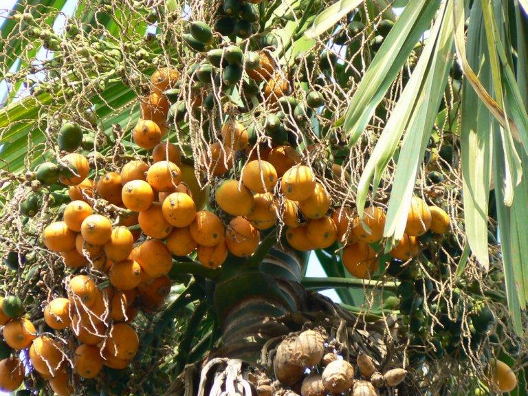 В Днепр и область попал орех из Пакистана, вызывающий онкозаболевание: как выглядит опасный плод, фото-3